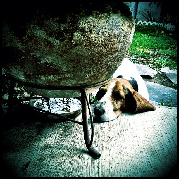 #perro #dog #bassethound #iphoneography #camera+ #queretaro #mexico  (Tomada con instagram)