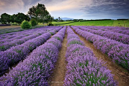 prettylittleflower:  Lavender (by Chris Gin)