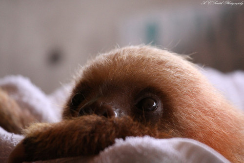 animals-animals-animals:  Baby Sloth (by Adam C. Smith Photography)