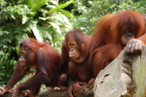 animals-animals-animals:  Orangutans (by su-lin)  I saw some orangs at the zoo today.  They were pretty.