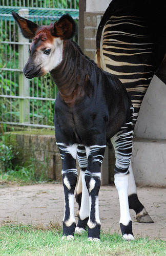 earth-song:  okapi calf