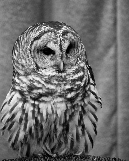 Barred Owl on Flickr.