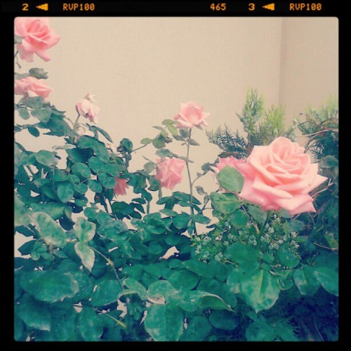 Me gusta roses #rose #flower #pink #spring #green #pretty #instagood #instatag #ignation #instago #instadaily #instamood #photooftheday (Taken with instagram)