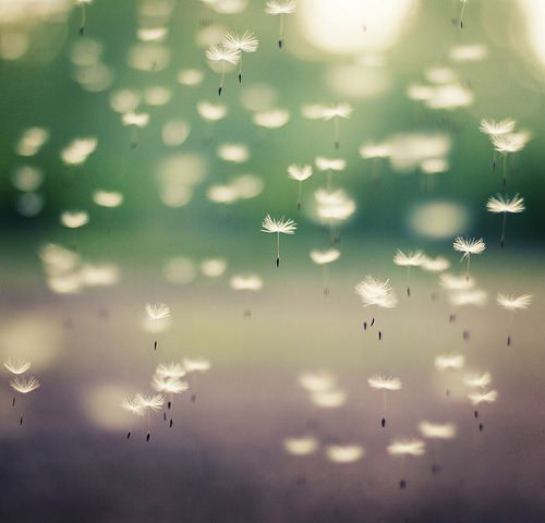 lovelyasadream:  Dandelion escape (by *December Sun)
