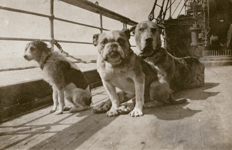 everythingrmstitanic:  Not much is known about the dogs of the RMS Titanic, but it is generally agreed that there were 12 dogs aboard the Titanic (eyewitness accounts), all of whom belonged to first class passengers. Only three survived. They were Lady, a Pomeranian belonging to Margaret Hays who was wrapped by her owner in a blanket and carried into a lifeboat; Sun Yat-sen, a Pekinese belonging to Henry and Myra Harper; and a small Pomeranian belonging to Elizabeth Rothschild. The other dogs were: a King Charles Spaniel and an Airedale belonging to William Carter Kitty, John Jacob Astor IV's Airedale a fox terrier owned by William Dulles a Great Dane belonging to Ann Isham (she was very fond of him, and refused to get into a lifeboat without him. Her body was later found floating with her arms still around him) a prize French Bulldog called Gamin de Pycombe owned by Robert Daniels a toy poodle owned by Helen Bishop and two other unknown dogs. Sometime during the sinking, a crew member unlocked the kennels and let the dogs out so they could have a chance to survive.