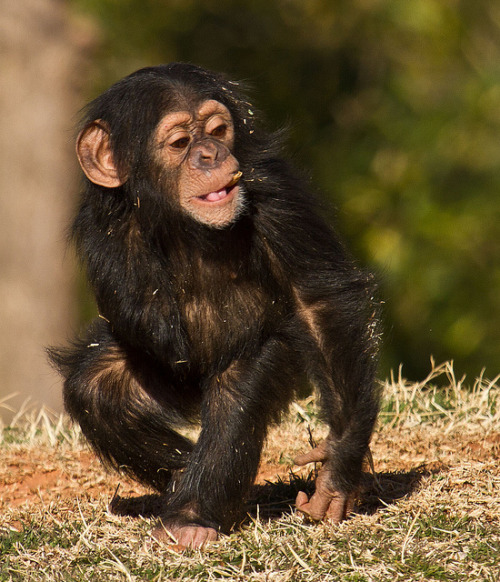worldlyanimals:  Baby chimp by reddirtpics on Flickr.