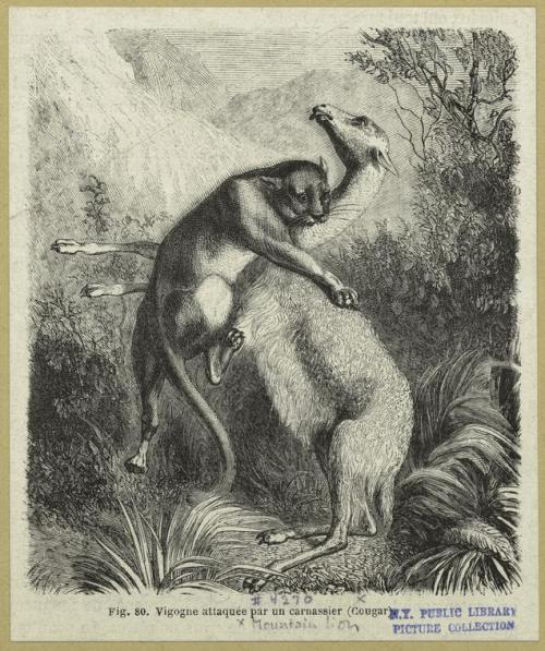 compendium-of-beasts:  Vigogne attaquée par un carnassier (Cougar). (1870)  via NYPL
