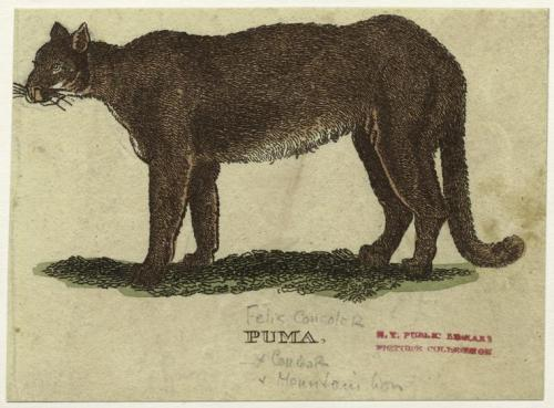 compendium-of-beasts:  Puma. via NYPL