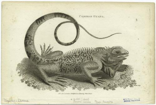 compendium-of-beasts:  Common guana. (1802)  via NYPL