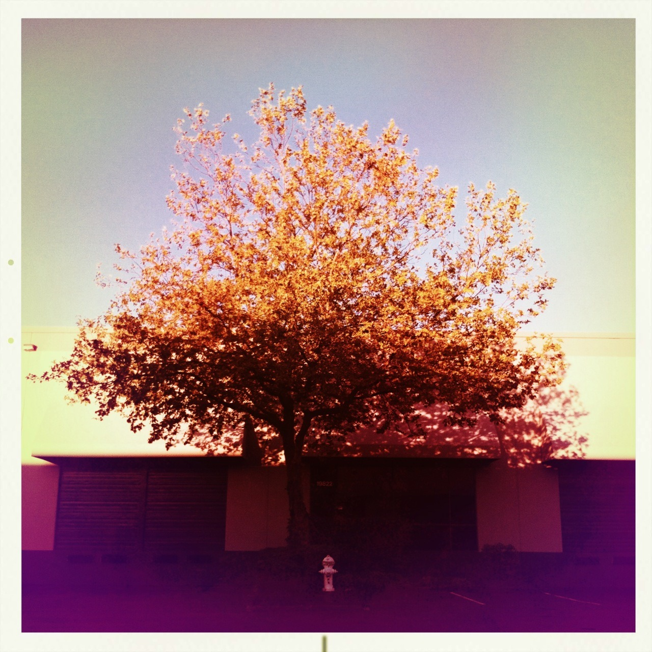 Tree At Sunset Melodie Lens, Alfred Infrared Film, No Flash, Taken with Hipstamatic #Hipstacode_MDAL © Kent Kangley 2012