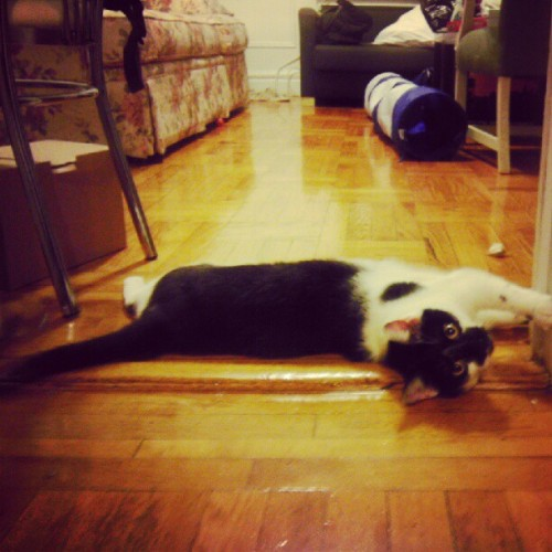 #tuxedo #cat #contortionist lol (Taken with instagram)