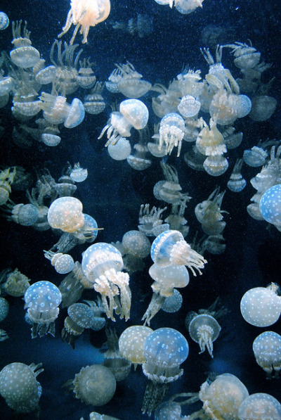 electric-voltage:  jellies on Flickr.