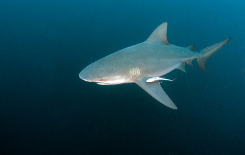 Unlike other shark species that stick to either fresh or saltwater, bull sharks (Carcharhinus leucas) manage to thrive in both. They've specialized their ability of osmoregulation, or the ability of an organism to maintain its body. Since all fish, fresh and saltwater alike, have to osmoregulate, bull sharks have figured out how to adjust theirs to all salinity levels. An external and internal environment is separated by a membrane where substances can move. For fish, this is skin. If the internal has more water than the external, and vice versa, water will move from the highest concentration area to the lowest. So marine animals must prevent dehydration, whereas freshwater animals must reserve their salt levels.Bull sharks have managed to balance these processes out. Urea and other salty substances normally stabilize based on the environment, which is controlled by the kidneys. By regulating the amount of salt released from the kidneys, the bull shark can adjust and balance by releasing less salt and more urea based on the water. Since people often spend time in estuaries and rivers where bull sharks lurk, encounters with them are often surprised and unexpected; Especially when they were found 2,000 miles upstream in the Amazon River! Photo credit: wirodive