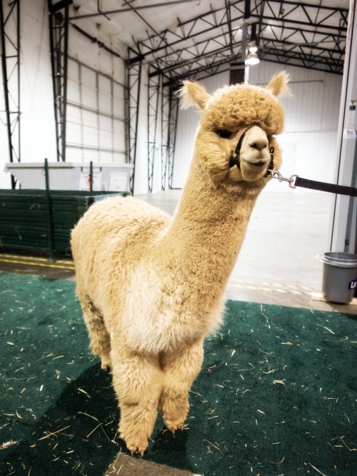 Went to Portland over the weekend to shoot the CABA Classic Alpaca Show. Here's one of my shots taken with the Olympus E-PM1 + 12mm F2.  Ain't he cute?