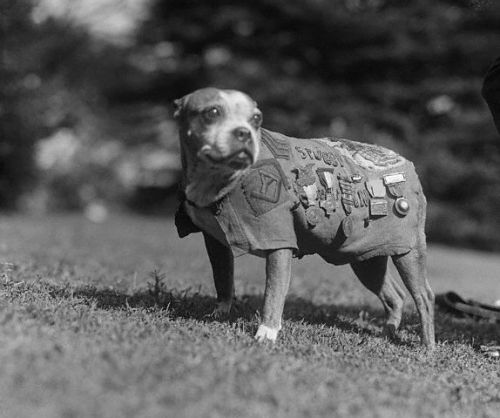 Sergeant Stubby (1916 or 1917 – March 16, 1926), the most decorated war dog of World War I and the only dog to be promoted to sergeant through combat
