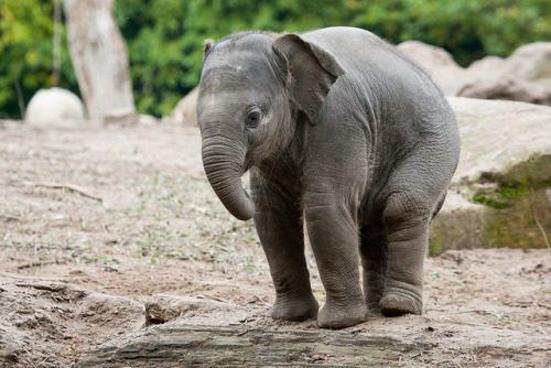 junglefeet:  look at that little trunk :)  Love it