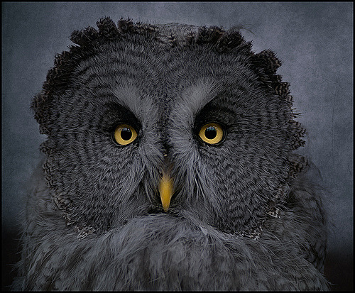 Mine is the Night -Great Grey Owl (by Steve - 1 Million+ (safe) views - thank you)