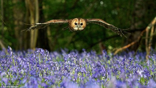 countryboylife:  a tawny owl hunting by day at the British Wildlife Centre in Lingfield, Surrey