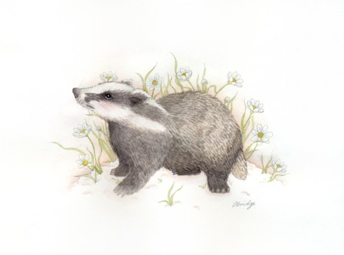 badger and daisies  commission  watercolour and graphite  by Calliope Bridge