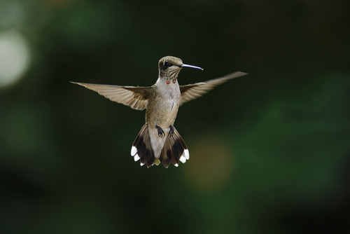 Juvenile Male Hummingbird In Flight_RGB7599t by DansPhotoArt on Flickr.Love it…