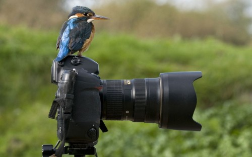 This kingfisher amused wildlife photographer Tony Flashman by reversing roles. Mr Flashman was setting up staged perches for birds to land on near a stream in Deal, Kent when he looked around and saw the colourful bird sat on his camera. I had to do a double take when I saw the kingfisher sat on my camera, she was meant to be in front of it, he said. Picture: Tony Flashman / Rex Features