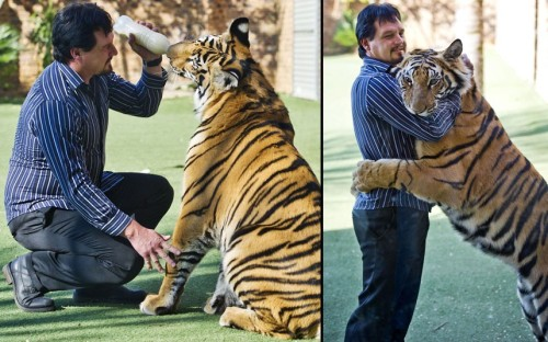 theanimalblog:  Michael Jamison feeds his pet Bengal tiger Enzo at home in Brakpan, South Africa. One-year-old, 150kg, Enzo lives with Michael and his girlfriend Jackie, and one glance at the scratched and chewed furniture is enough to reveal that the couple's cat is no ordinary one.  Picture: Gallo Images / Rex Features  So cute and adorable:)