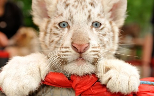 theanimalblog:  A white Bengal tiger cub is seen at Guiyang Forest Wild Zoo in Guiyang, China.  Picture: China Foto Press / Barcroft Media