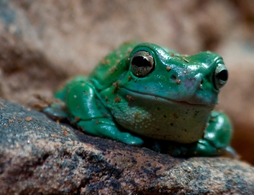 earthlynation:  Dumpy Tree Frog from Cute Home Pets
