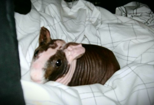 My hairless guinea pig . I love you