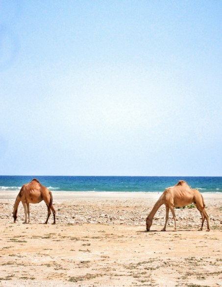 condenasttraveler:  Camel Sightings in Oman | Mirbat, Oman