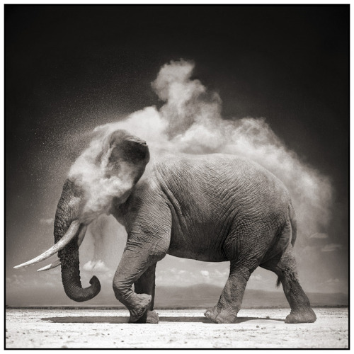 "deboomschorscollectie:  ""Elephant With Exploding Dust, Amboseli"" (2004), een foto van Nick Brandt."