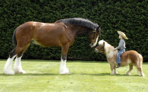 inothernews:  BIGGER HORSE: You. You so much much as eat my hay or sniff my poop, and I'll stomp on you and your little friend here, you understand me?SMALLER HORSE: Fuck you, dude. I'm Li'l Sebastian. (Photo of Max Cooper, 5, riding a Shetland pony named Truffles and meeting a Shire horse named Jake to promote a dog and pony show in Kent, England via The Telegraph)