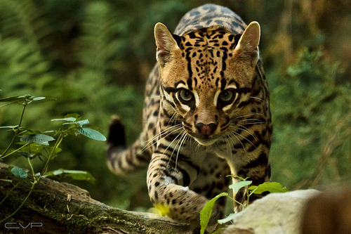 earthlynation:  Ocelot by Claudio Mac  Oh my, look at that cutie.