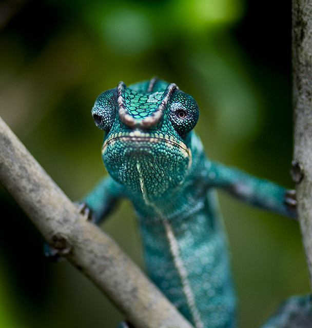 earthlynation:  Panther Chameleon by TheGardensofEden