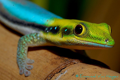 earthlynation: Yellow-headed Day Gecko (photo by Emmanuel van Heygen)