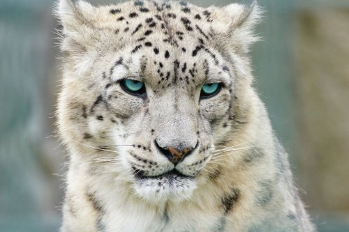 Snow leopard por ~Rising-Nature