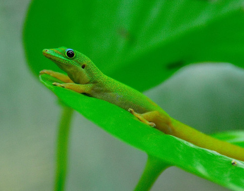 earthlynation:  Day Gecko by Steve Harris
