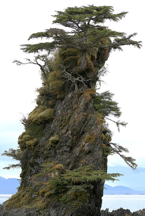 ecocides:  Bonsai trees, Sitka, Alaska | image by dailyartmasomenos