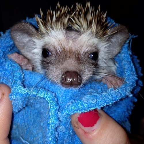 myskinnysecrett:  Babe just had a bath! #ashhcouture #hedgehog (Taken with instagram)