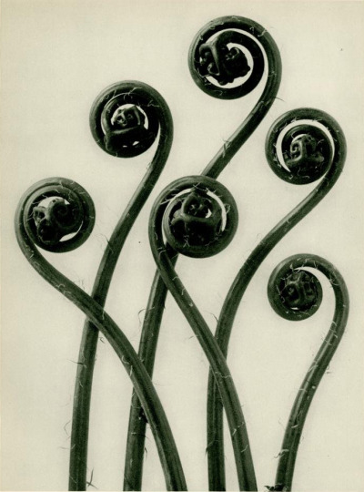 Karl Blossfeldt, Adiantum Pedatum (American Maidenhair Fern) [#55] [Young rolled-up fronds enlarged 8 times]  Original vintage photogravure. c1900-1928. Printed 1929