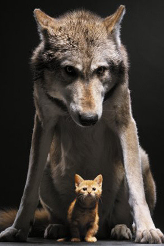 animalgazing:  Wolf and Cat iPhone wallpaper by xploitme on Flickr.