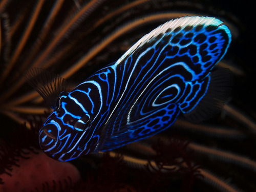 earthlynation:  Juvenile Emperor Angelfish by Doug.Deep