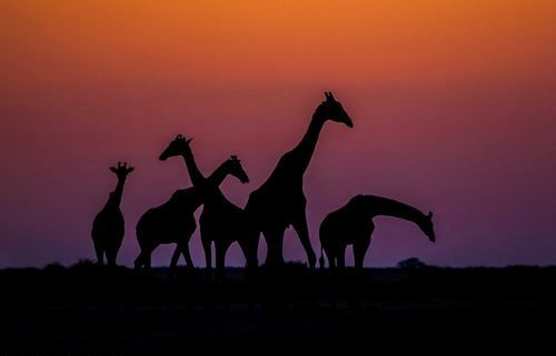 "earth-song:  ""Giraffe Dusk!"" by Andrew Schoeman"