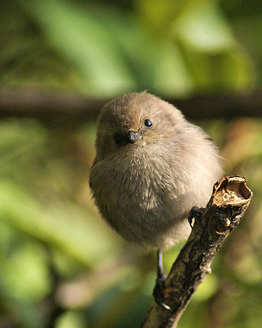 fat-birds:  bushtit by wileygerald on Flickr.