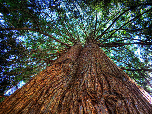 Western Red Cedar by ecstaticist on Flickr.