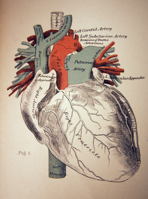invado:  Anatomically Correct Heart Illustration