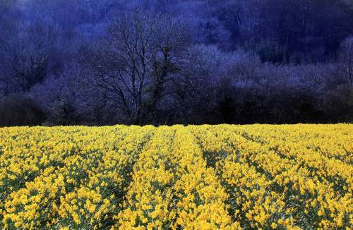 a field of daffodils in england