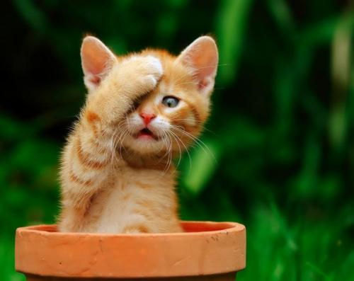 llbwwb:  Facepalm Kitty By:peasant. Todays Cuteness :)