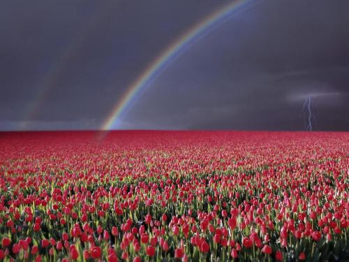llbwwb:  Storm Over Tulip Fields Near Rutten Flevoland Netherlands. Courtesy http://wallpapers5.com (CC).