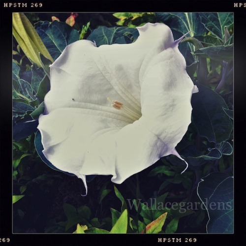 Datura inoxia 'Evening Fragrance' (Thorn Apple) ~ huge, fragrant trumpet-shaped flowers with ruffled edges and large slate-blue leaves. All parts of the plant are highly toxic, and may be fatal if ingested by humans or animals. The alkaloids of Datura inoxia are similar to those of mandrake, deadly nightshade, and henbane, which are also poisonous plants.